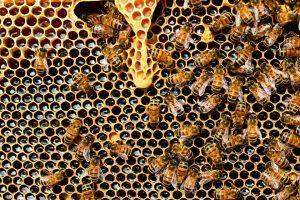 abeilles_queen-cup-337695_960_720
